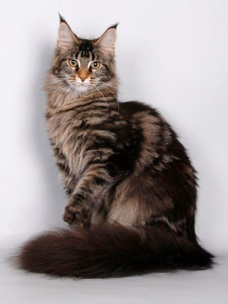 maine-coon-gato-atigrado