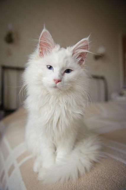 maine-coon-blanco