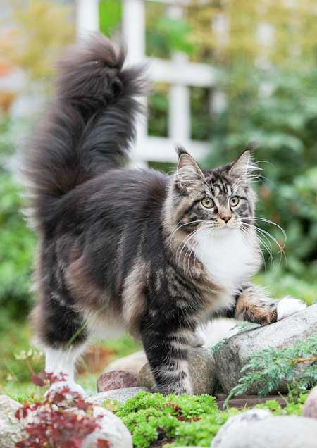 maine-coon-hembra