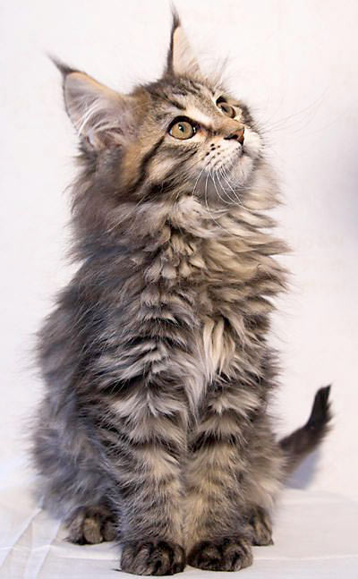 gato maine coon joven
