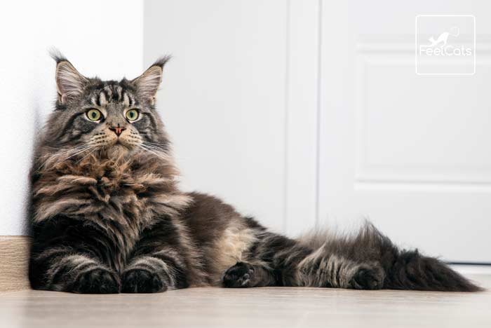 gato-mainecoon-cat