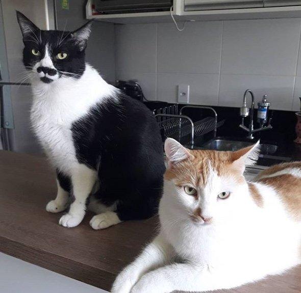 Dos gatos domésticos