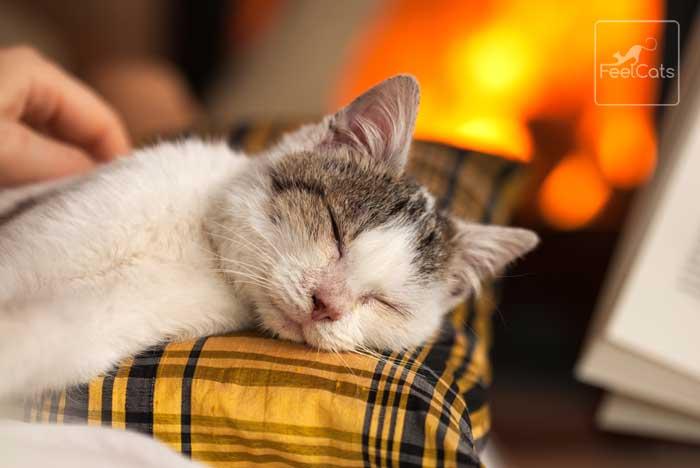 ronroneo en los gatos, cuando duerme