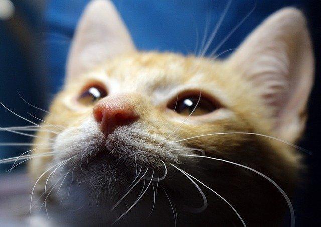 por qué y cómo ronronean los gatos