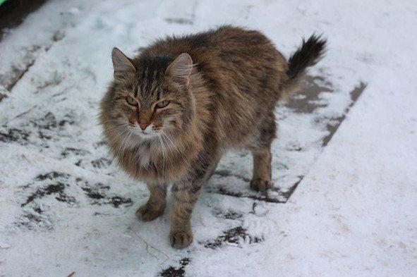 Gato Siberiano: Lo que deberías saber sobre esta raza felina