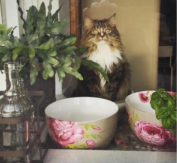 Gatico-siberiano
