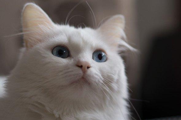 gato-angora-ojos-azules
