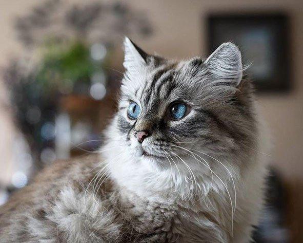 gatito-siberiano-ojos-azules