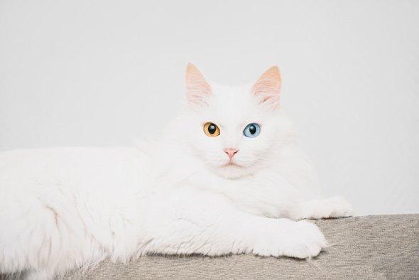 Gato Angora con heterocromía