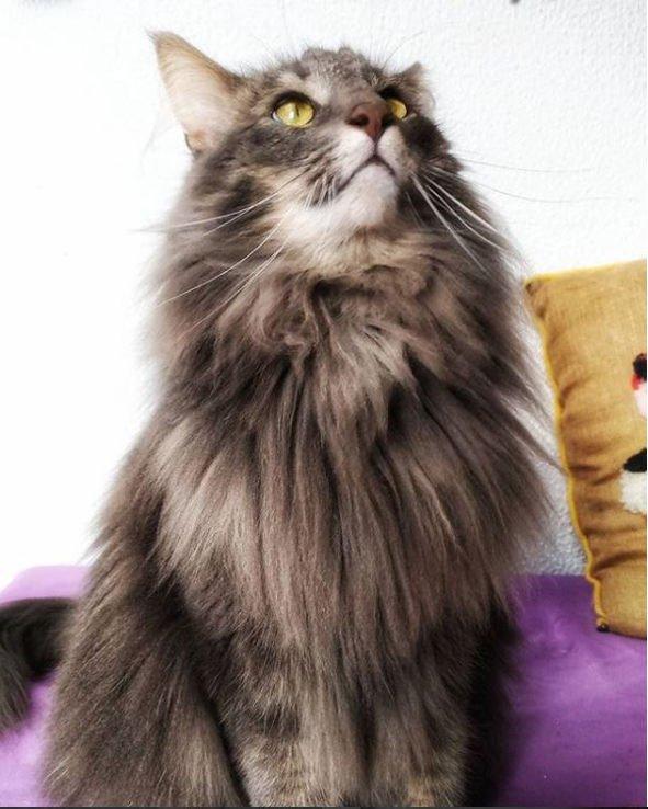 gato-bosque-de-noruega-gris