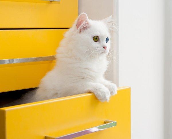 Gato de Angora Turco: Una raza Social y Juguetona