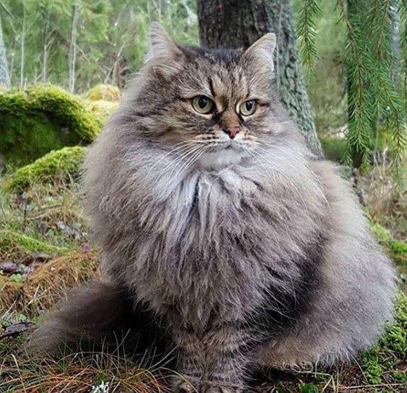 gato-siberiano-en-el-bosque