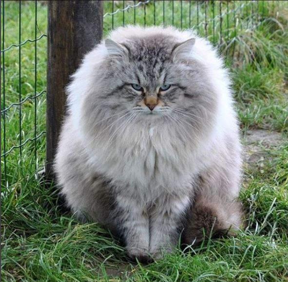 gato-siberiano