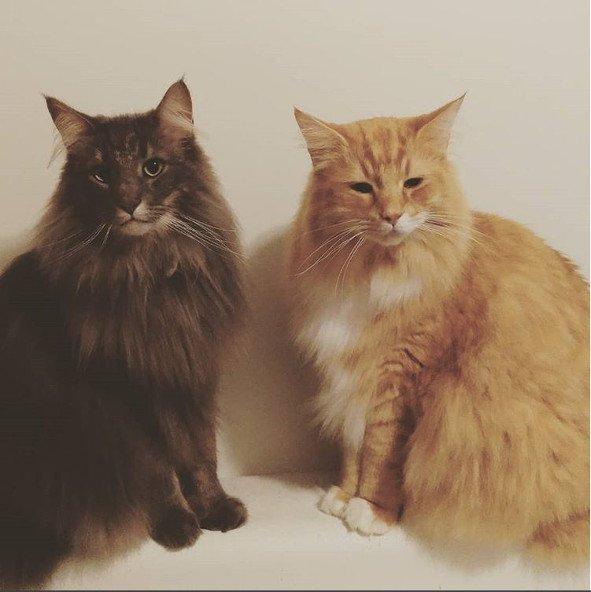 gatos-bosque-de-noruega