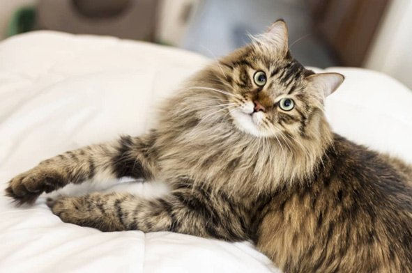 gato-siberianos