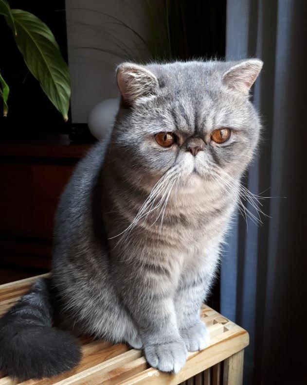 gato-exotico-shorthair