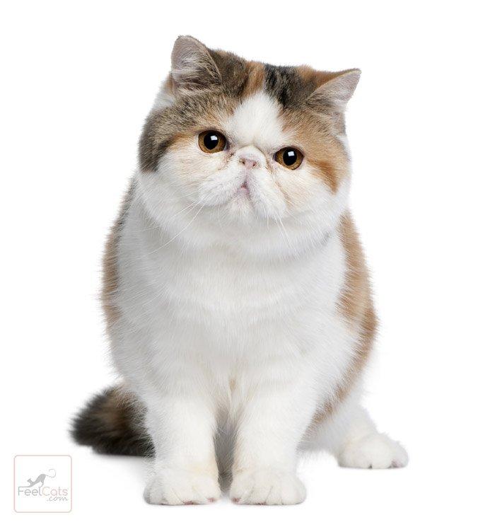 gato-exotic-shorthair