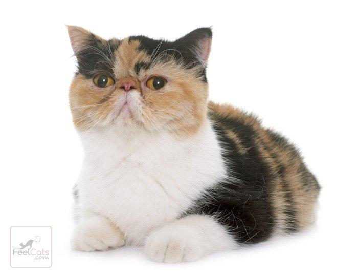 gato-exotico-raza