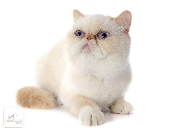 gato-exotico-ojos-azules