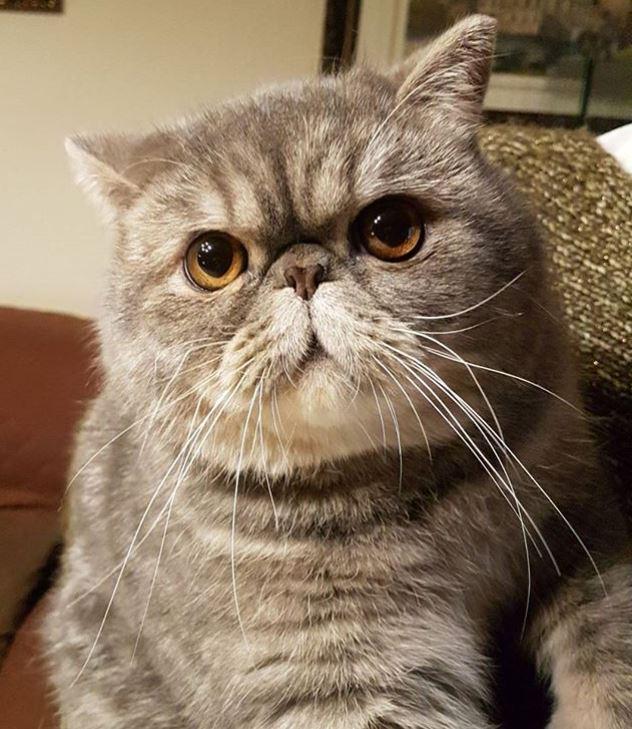 foto-gato-exotico-origen-persa