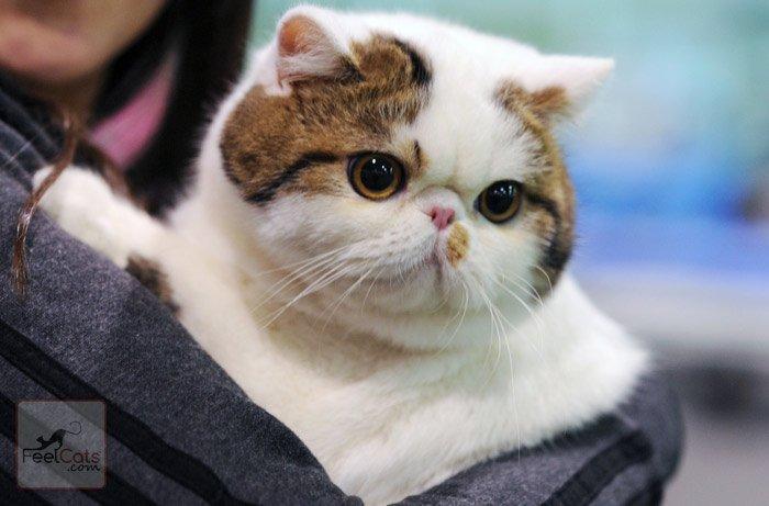 Gatitos exoticos pelo corto venta