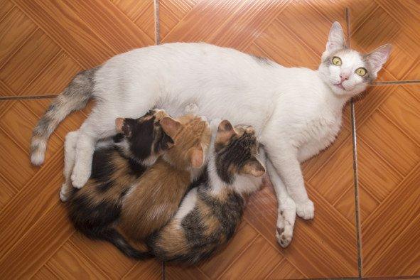 gatos-amamantando-amasando