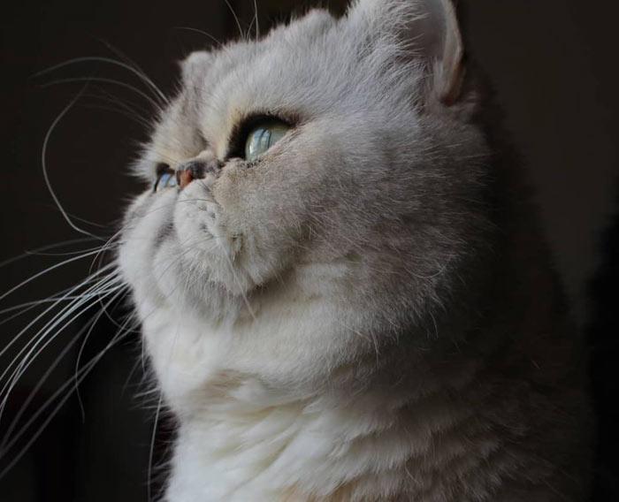 exotico-pelo-largo-gato