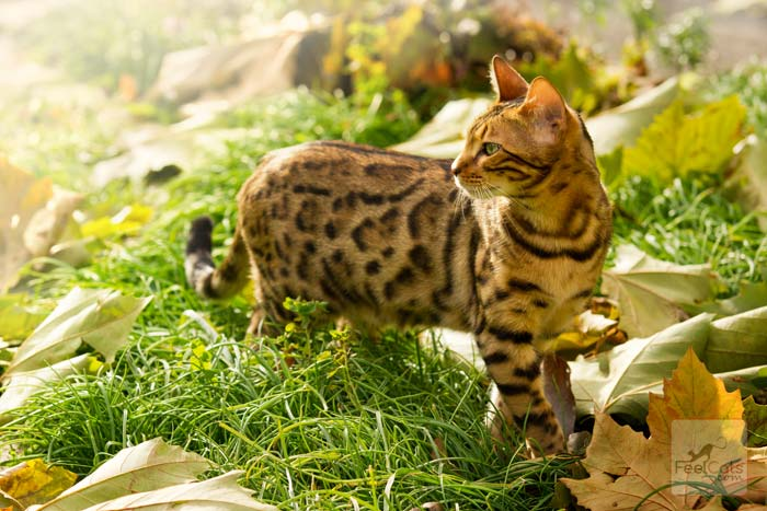 Gato Bengalí explorando