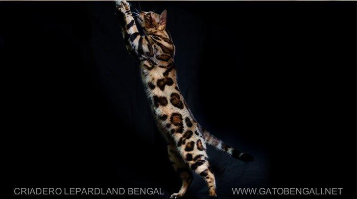 gato-bengali-criadero