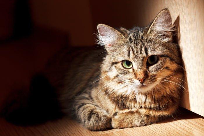 Esterilizar a tu gata – ¿Beneficios, cuánto cuesta, cuándo realizarla?