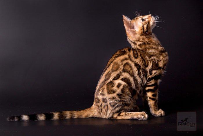 gato-de-bengala-o-bengali