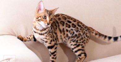 Un gato bengali doméstico