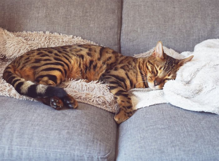 gato-de-bengala