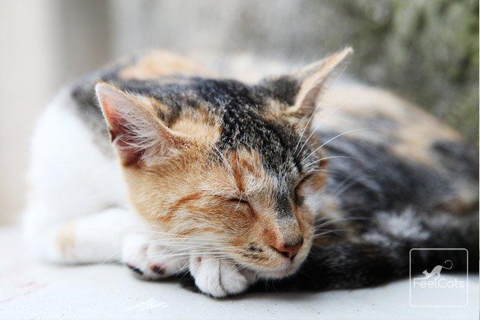 pancreatitis-en-gatos-pronostico
