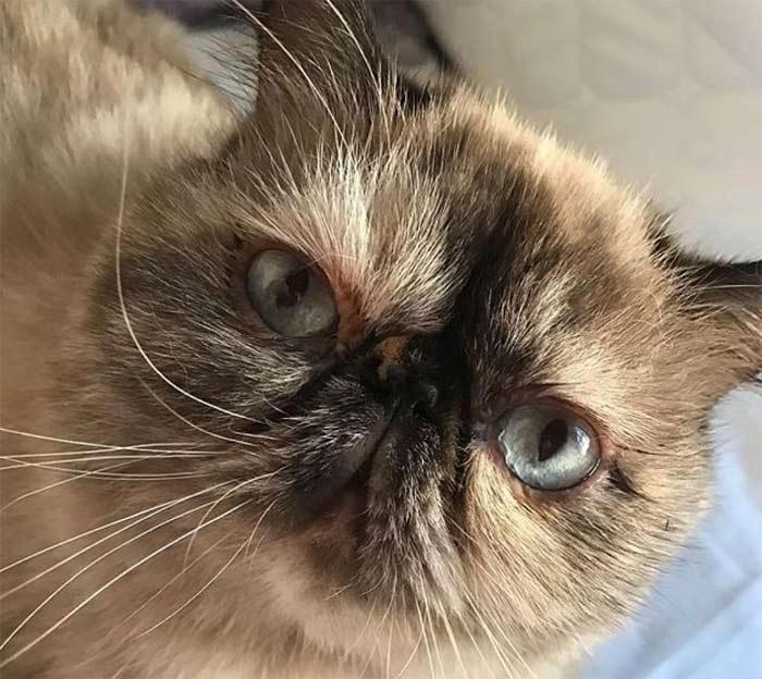 gatos-exoticos-persa