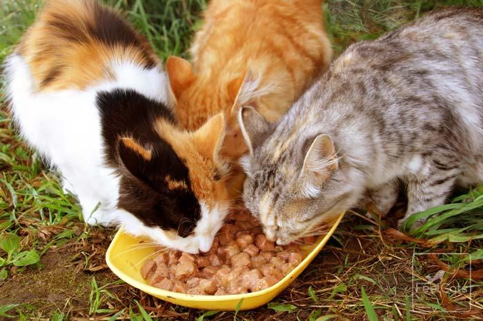 contagio-de-gripe-felina-calicivirus