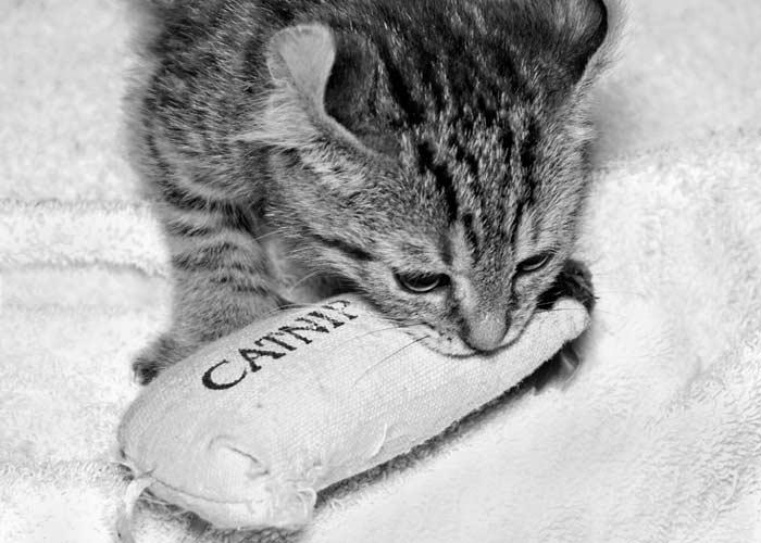 Catnip ¿Qué es? ¿Por qué les gusta tanto?