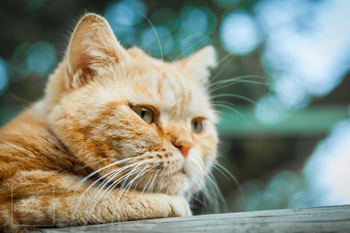 insuficiencia-renal-en-gatos