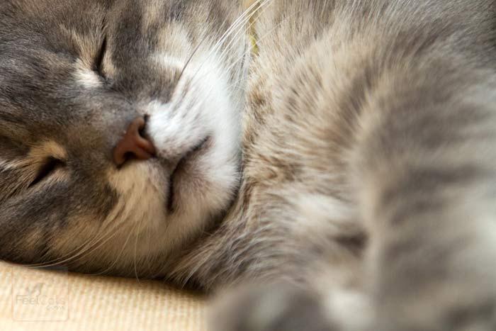 gatos-con-fiebre
