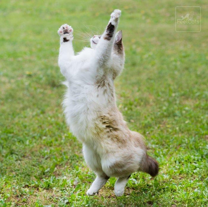 gato-ragdol-personalidad