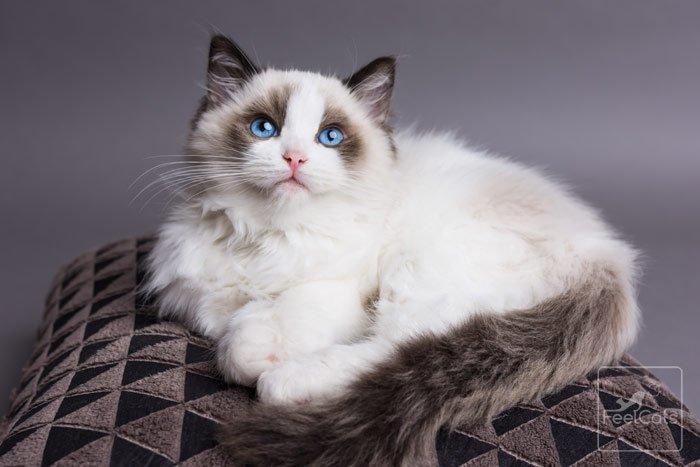 gato-ragdoll-adulto