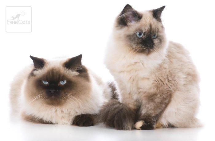 gato-ragdoll-caracteristicas