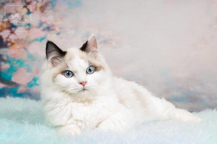 gato-ragdoll-precio