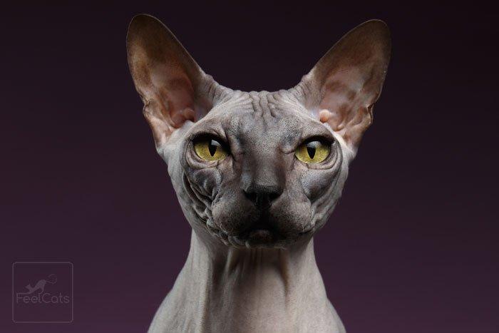 cuidados-gato-sphynx