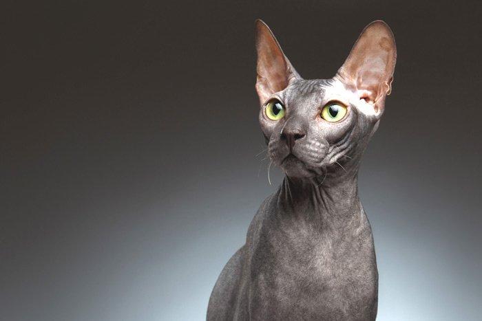 Gato ingles de pelo corto precio mexico