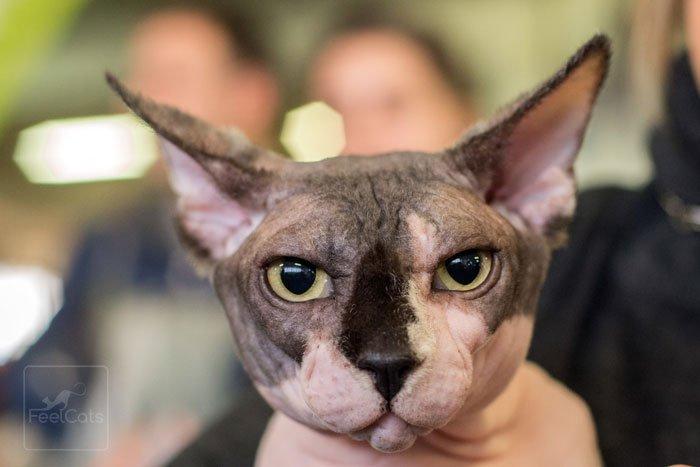 gato-sphynx-adulto