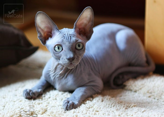 gato-sphynx-curiosidades