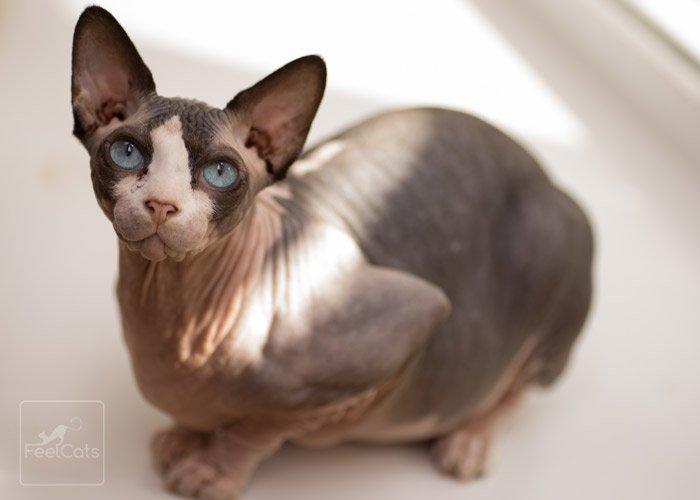 gato-sphyxs-hembra