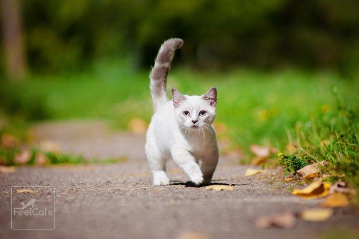 gatos-munchkin-precio