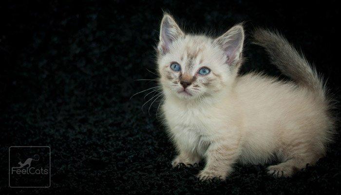 gatito-munchkin